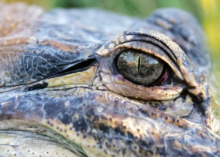 Alligator Color Photograph 5x7 inches